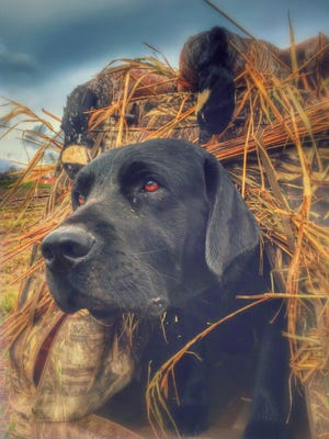 Ranger pokes his head out of a MoMarsh dog blind during a goose hunt.