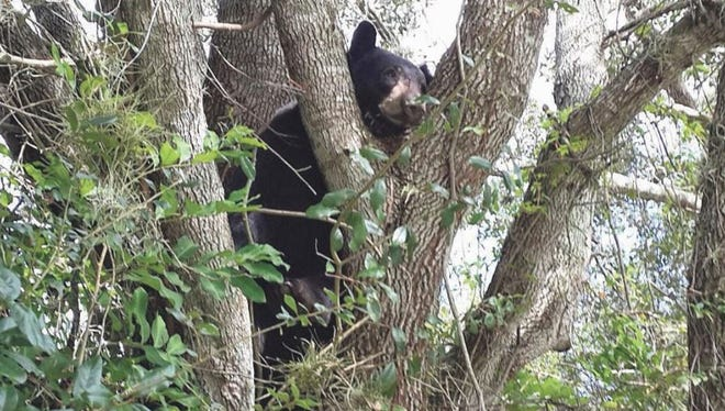 A black bear was spotted in a tree in 2013 near the Vineyards Elementary School in Collier County. It never posed a threat to students, according to wildlife officials.
