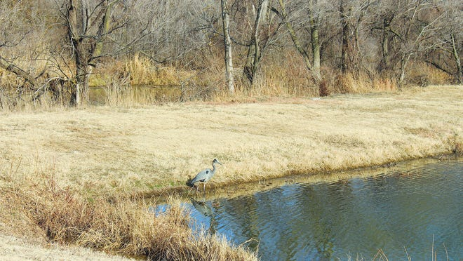 Wildlife worth watching is prevalent in Pratt County, like this Great Blue Heron fishing on the banks of Centennial Pond near the Kansas Department of Wildlife, Parks and Tourism headquarters east of Pratt.