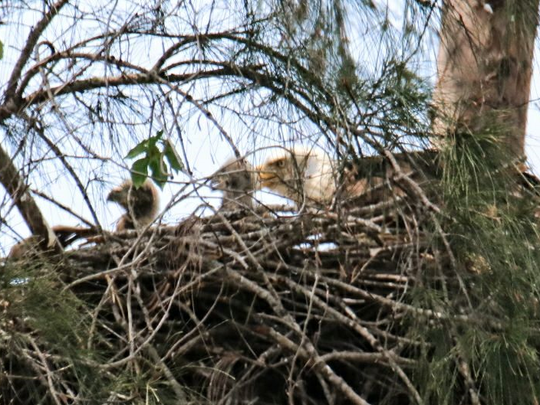 Eaglets in Marco Island nest