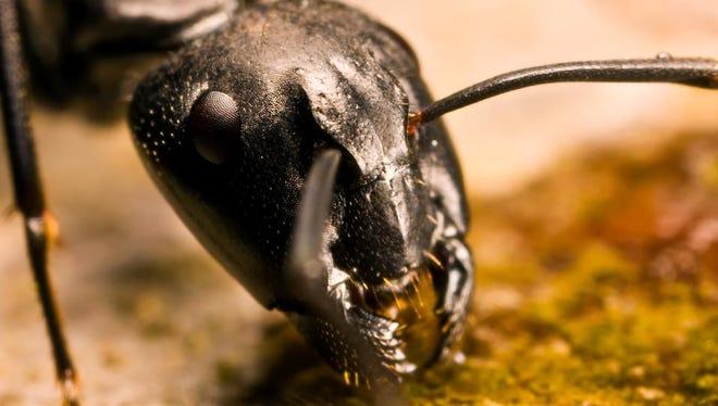 Carpenter ant.