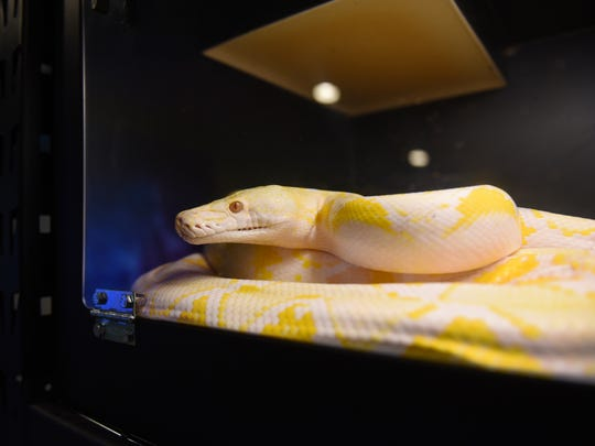 A white-phase albino reticulated python.