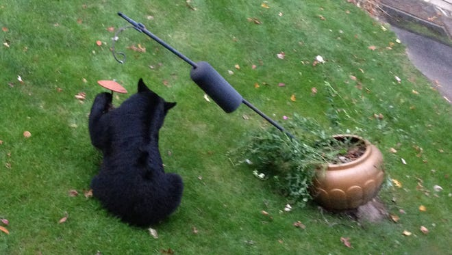 One of two black bears raided this Oakland feeder one day in October.