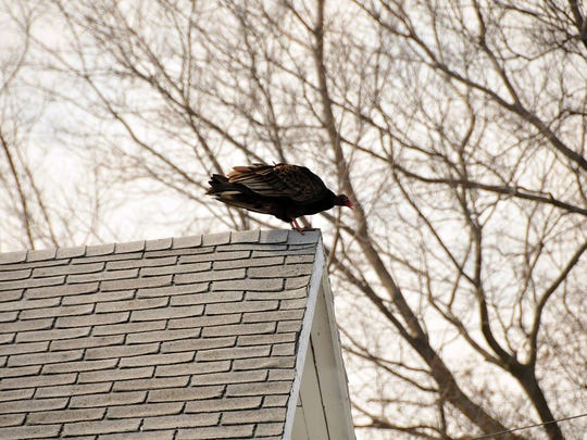 A turkey vulture takes a break from hunting to rest on a rooftop on Harrison Street in Port Clinton on a Saturday afternoon.
