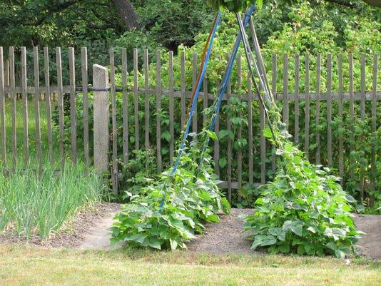 Onion plants an climbing beans in a garden