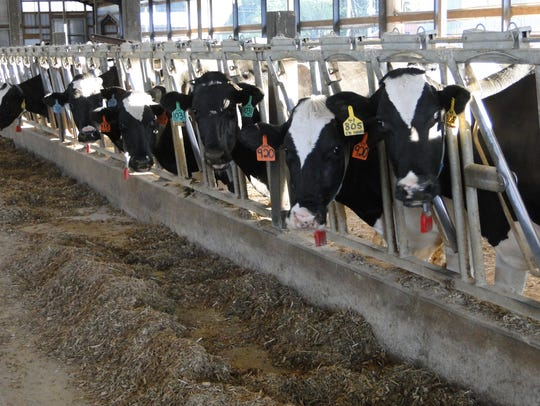 Cows' diets have to be adjusted if alfalfa is being replaced by another forage due to winter kill.