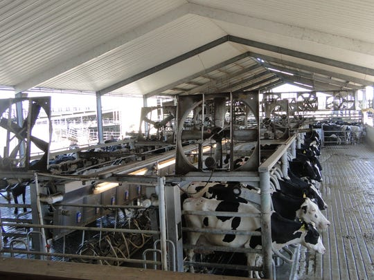 The 1600 cows at Dakin Dairy in Florida pass through the D-35 rapid exit parallel parlor three times a day. The Dakins built the parlor in 2002 and moved on to bottle their own milk and now also make cheese.