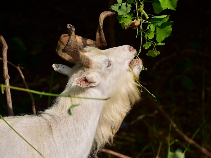 Goats are eating Japanese Knotweed and other vegetation
