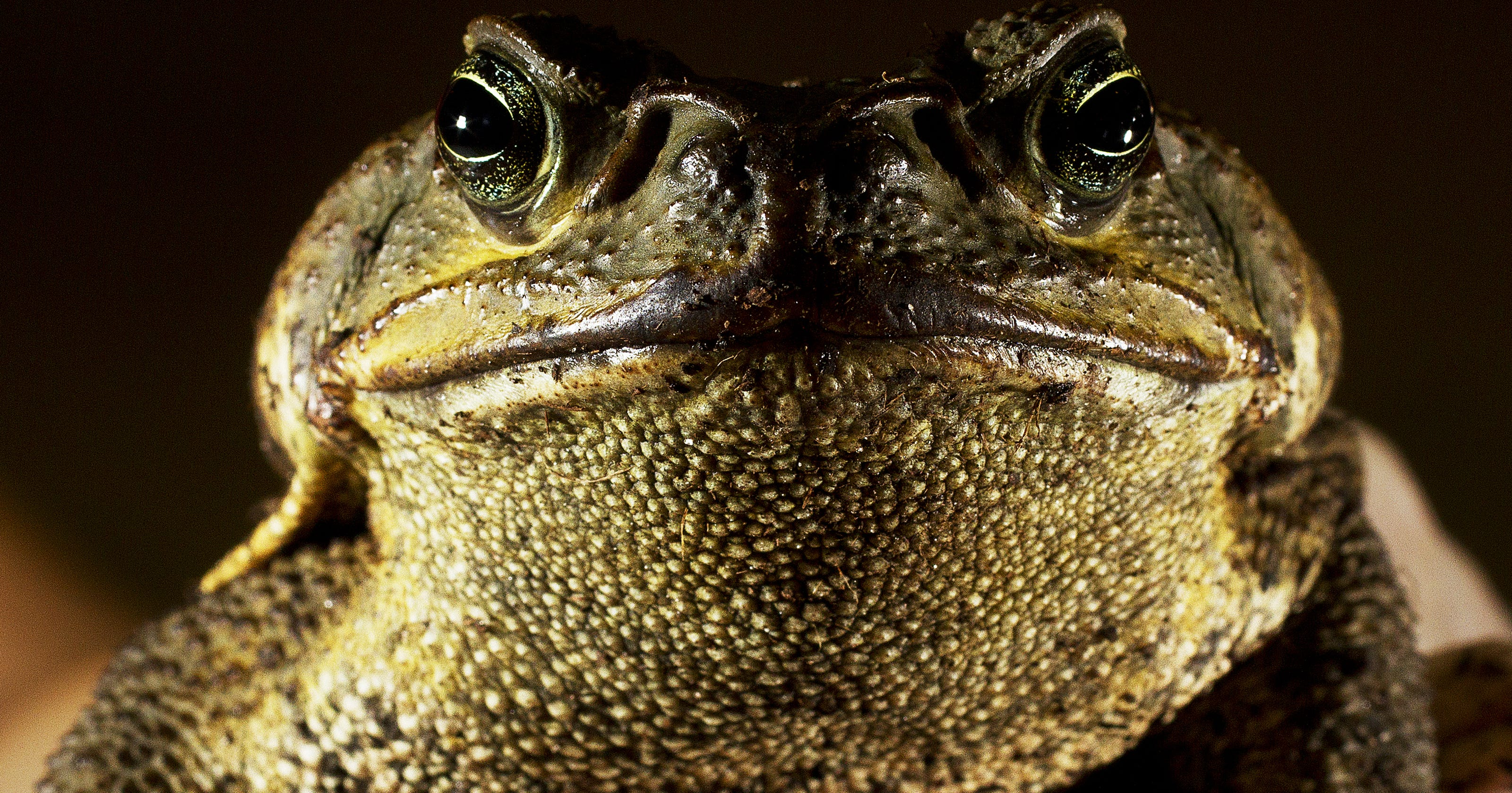 cac7362c52d17 Poisonous toads popping up in Southwest Florida