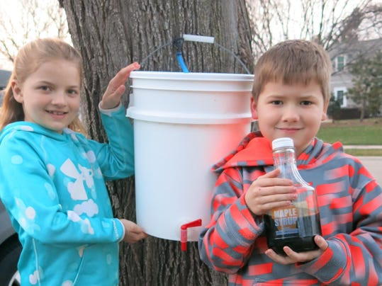 Taft maple tapping