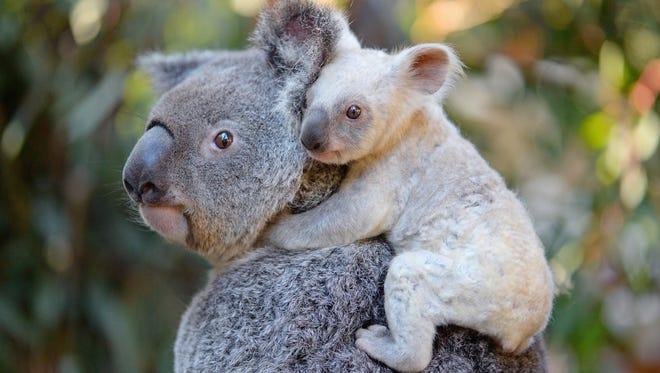 The adorable, rare white koala at the Australia Zoo who needs a name.