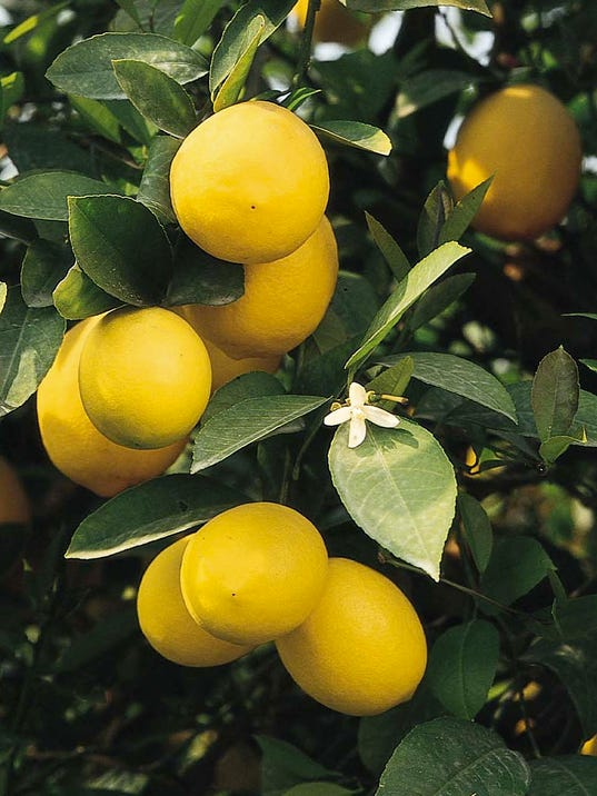 635797516060350990-meyer-lemon