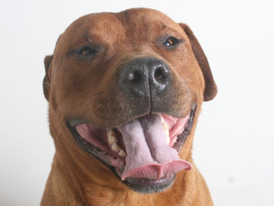 Farley is a 2-year-old, red, male boxer mix. This affable
