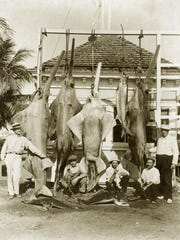 In this undated photo, Florida anglers pose with their catch which includes a smalltooth sawfish. The sawfish, which are now considered critically endangered, were hunted to near extinction in North America. (Florida Memory Project photo archive)