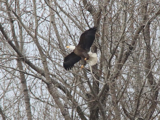 A pair of bald eagles and young bald eagle spent the day around a nest that looks out on Overpeck Creek where bald eagles have been seen coming back to in the past few years.