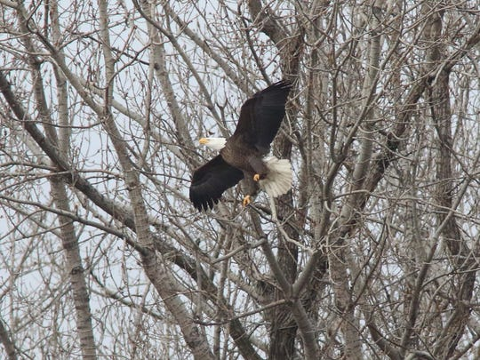 One of two adult bald eagles near a nest that looks out on Overpeck Creek where bald eagles have been seen coming back to in the past few years.