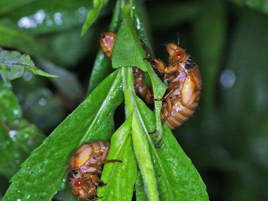 Ohio's 13-year cicadas