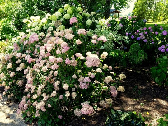 Our native smooth hydrangea usually sports white flowers,