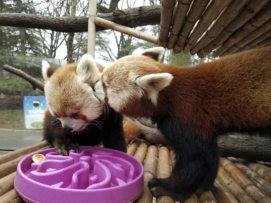 This Monday, Jan. 2, 2017, photo provided by the Elmwood Park Zoo shows a red panda named Shredder, left, and his brother Slash, right, at the zoo in Norristown, Pa. The suburban Philadelphia zoo says 2-year-old Shredder died Wednesday, Jan. 4, 2017, and a necropsy found signs of heart disease. The species is listed as endangered, with fewer than 10,000 red pandas living in the wild. (Kate Olsen/Elmwood Park Zoo via AP)