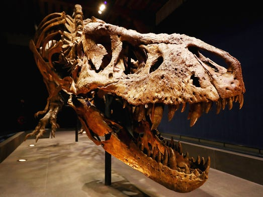 The skull, jaw and teeth of Trix the female T. rex