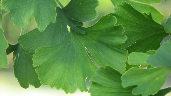 Ginkgos are tolerant to heat, drought, salt, compaction, and other stressful urban conditions.