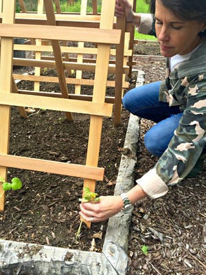 The DIY Dutchess positions a cucumber plant to grow up the trellis.