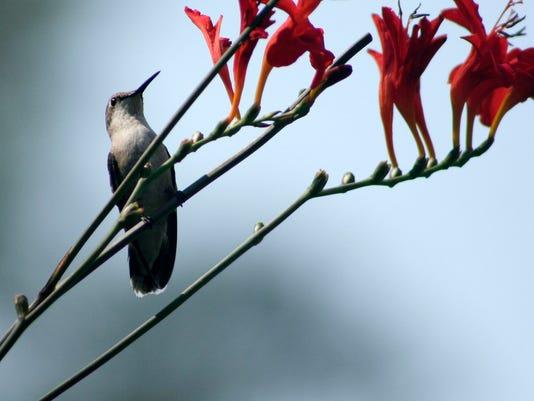 Bird - Ruby-throated Hummingbird - John Litts.jpg