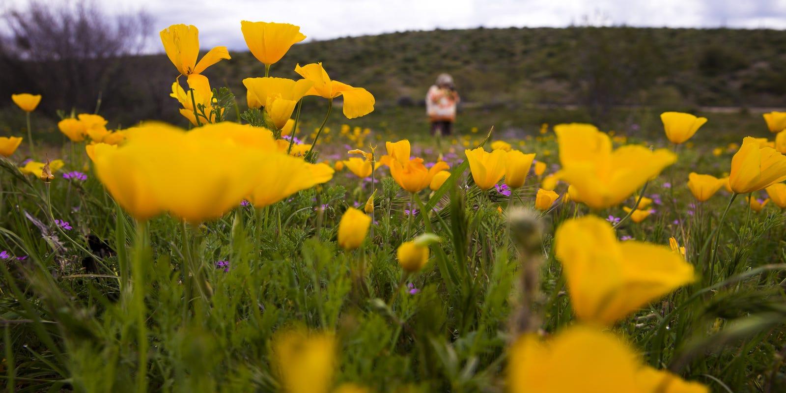 Arizona wildflowers peak season is now mightylinksfo