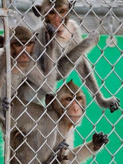 A group of cynomolgus macaques await treats from their handlers at Primate Products in Hendry County.