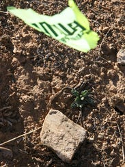 The first green shoots of a Holmgren milk-vetch plant