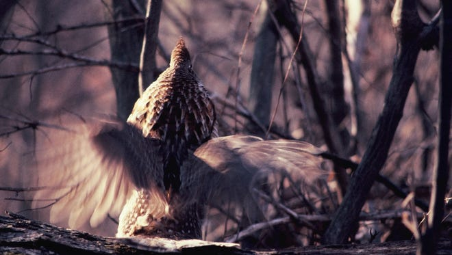 The sound of a ruffed grouse drumming seems to jump-start the pulse of a waking forest.