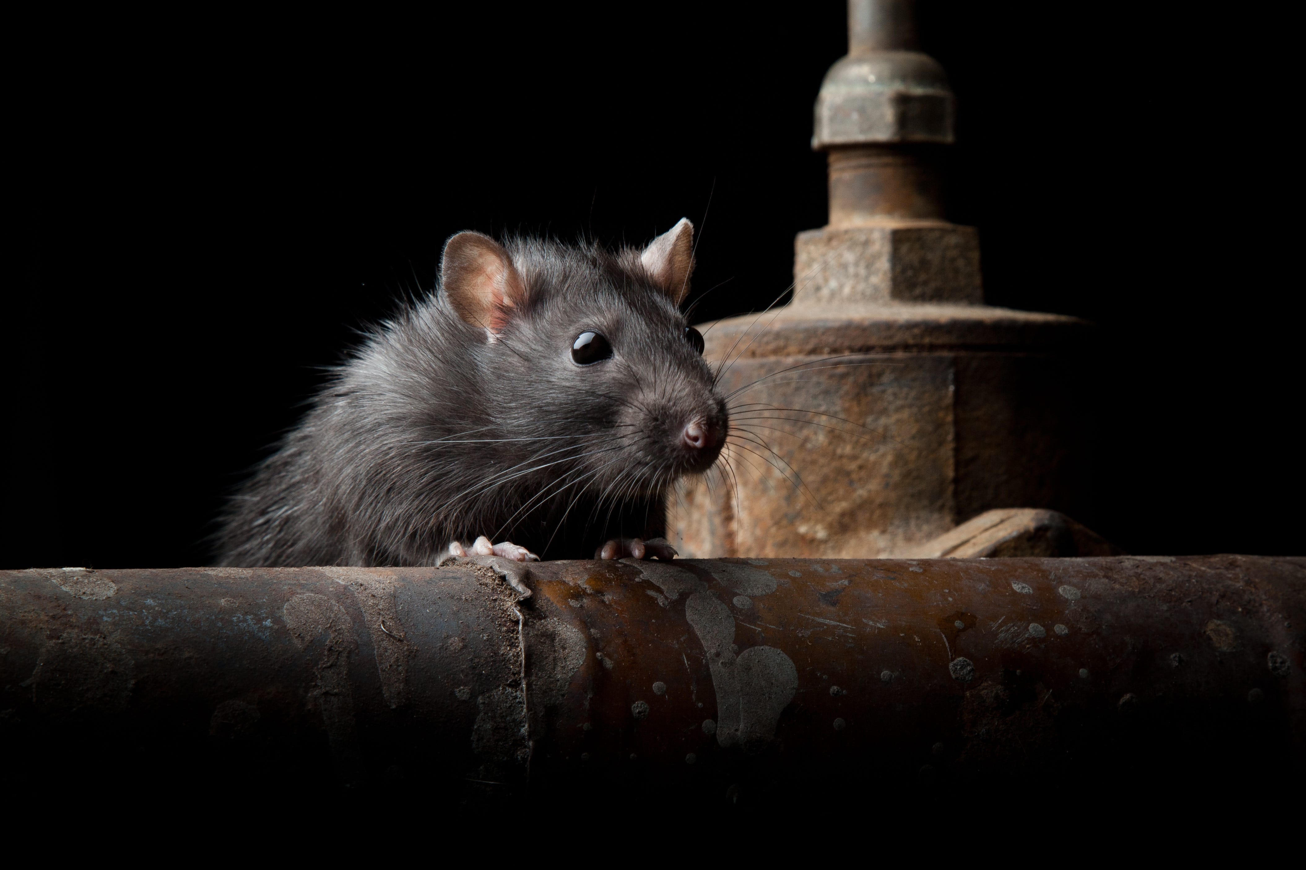 636612917378509609 GettyImages 628418392?width=3200&height=1680&fit=crop rats eat through your car wiring? here's why it's happening