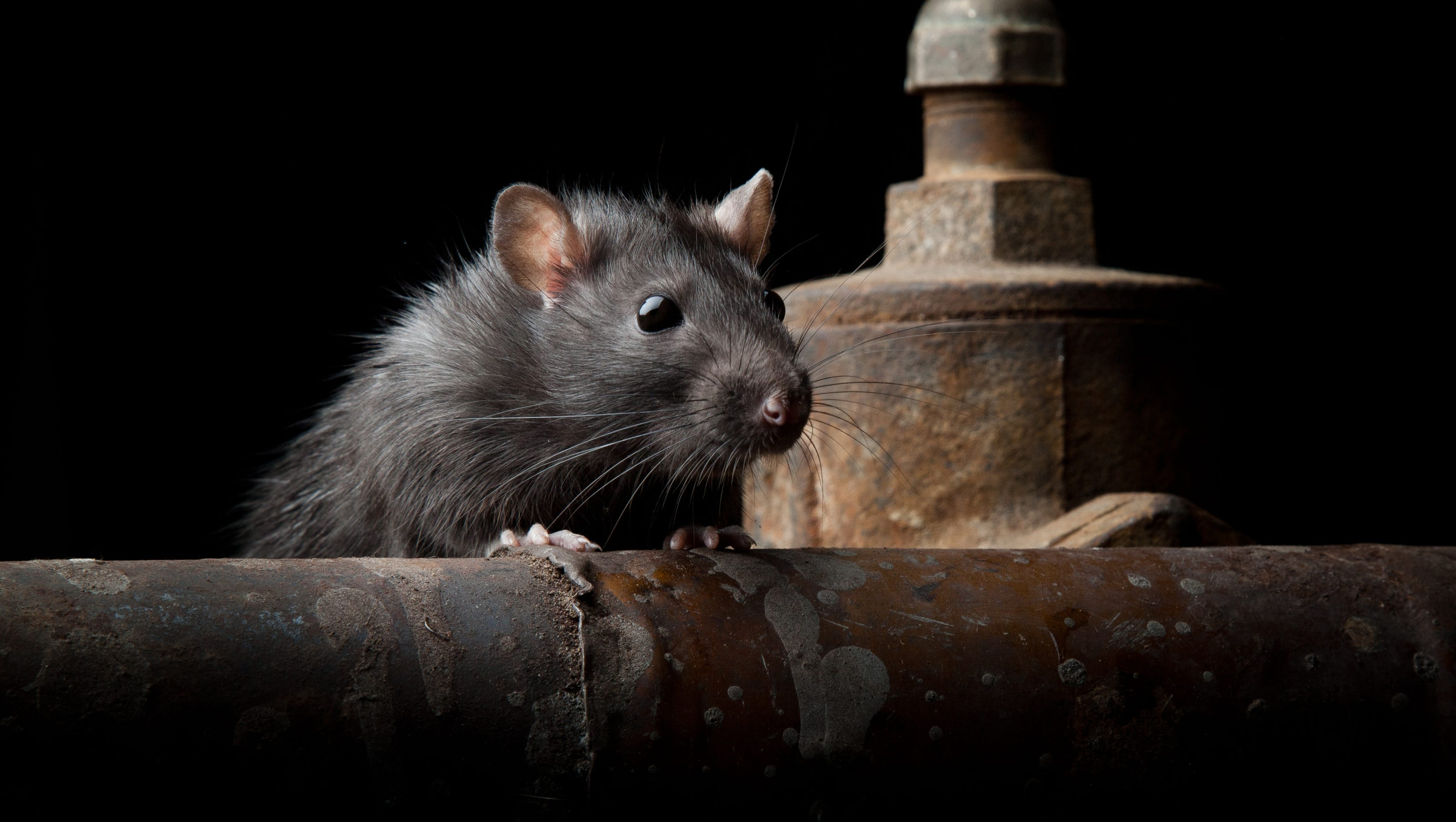 How To Keep Mice From Chewing Wires | Rats Eat Through Your Car Wiring Here S Why It S Happening