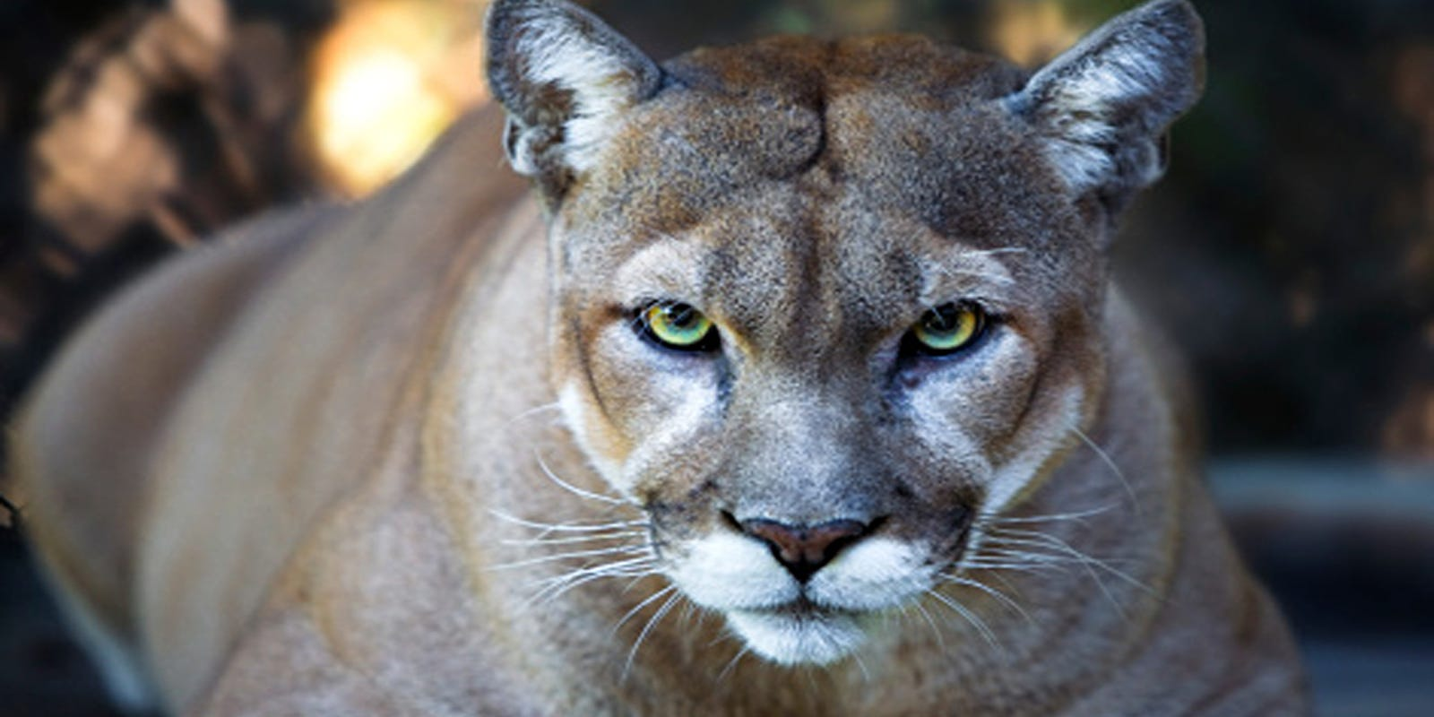 20th Florida Panther Of Year Found Dead