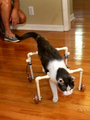 Gypsy, the VerMulm the family's 15-year-old cat walks across the room in her custom built walker, on Thursday Sept. 3, 2015.