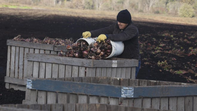 A worker dumps onions into a crate at Pawelski Farms in Goshen. Chris Pawelski, owner of the farm, went to Washington, D. C., in November to lobby lawmakers to investigate the cheap Canadian onions coming into the U.S.