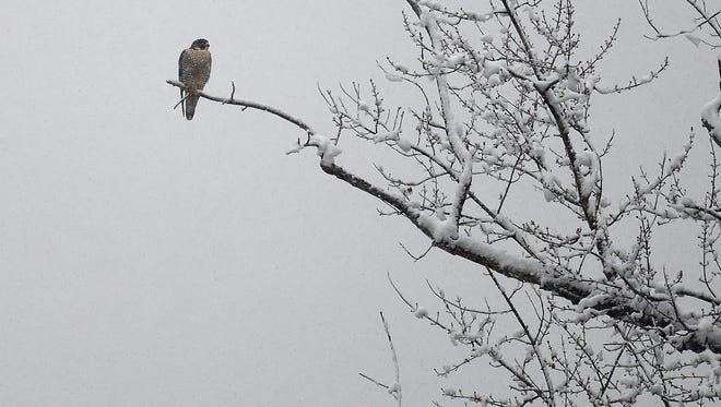 A broad winged hawk keeps watch over the Susquehanna River, Wednesday, Nov. 26, 2014, in Wilkes-Barre, PA. (AP Photo/The Times Leader, Andrew Krech)  CITIZENS' VOICE OUT; SCRANTON TIMES OUT; STANDARD-SPEAKER OUT