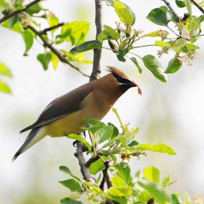For the Birds: The waxwings are coming