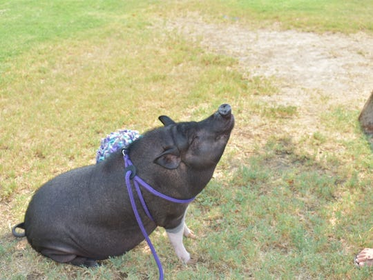 Pyper, a 3-year-old pot-bellied pig, lives in Cathedral