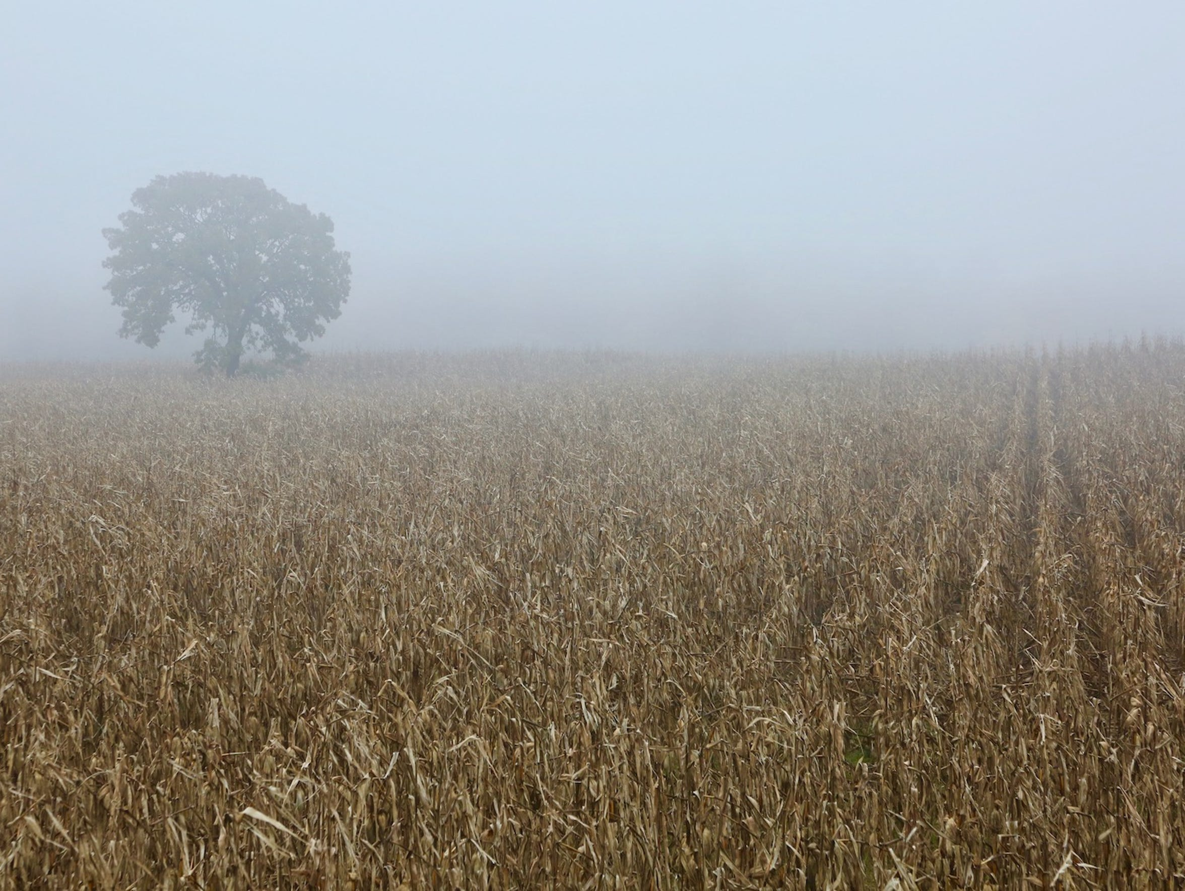 Fog hangs thick over a corn field south of Black River