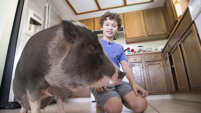 Nine-year-old Julian Gil plays with Maggie, his pot-bellied pig. After a three-month fight and the threat of a lawsuit, Chandler agreed with the Gils, who say Maggie provides emotional support for Julian, who has Asperger's, and let Maggie stay.