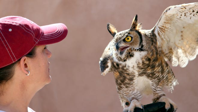 Nuru, the Great Horned Owl, showed off his flight skills during the New Mexico Raptors presentation at the 50th anniversary of Rockhound State Park on Saturday. The birds were rescued in New Mexico and are unable to be released into the wild.