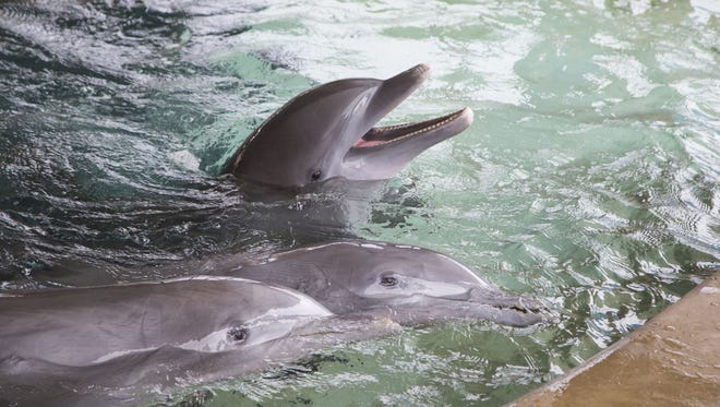 """Dolphinaris Arizona initially will not offer dolphin """"rides"""" in which customers are propelled through the water while hanging onto a dolphin's dorsal fin, but the company said it could offer that in the future."""