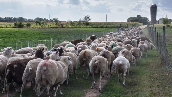 The dairy sheep flock heads up to the barn for milking time at the Spooner Ag Research Station.