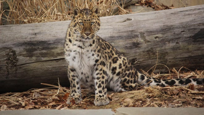 Kalinika, an Amur leopard at the Binghamton Zoo, is one of only about 300 of her species still in existence.