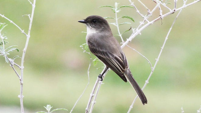 Eastern phoebe, our most common flycatcher, returns mid-March to mark the beginning of spring migration.