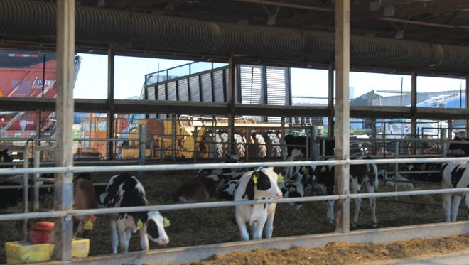 Some Jersey and Angus-crossbred calves are intermingled with the Holsteins in the calf housing.