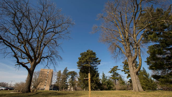 The black walnut tree, left, and hackberry, right, will be removed so a new ISU dorm can be built. Preliminary discussions are underway to use the trees as part of ISU's Heritage Tree Program, where they'd be propagated for future plantings.