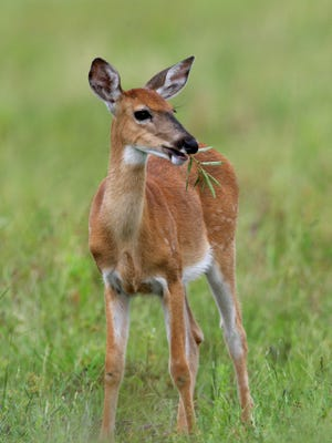 Whitetails tend to be larger in the northern states than they are in Florida.