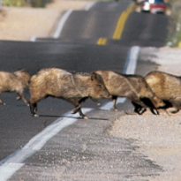Authorities forced to hunt javelina after attacks near Sedona